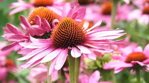 Themenbild: Echinacea
