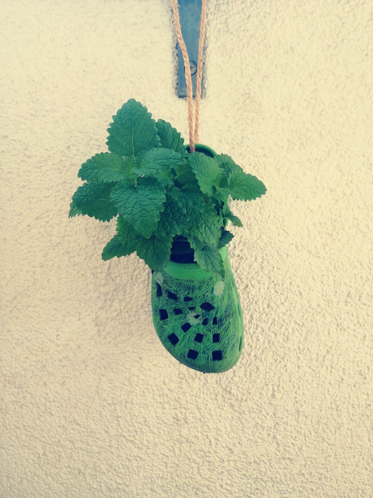 Einzelner, grüner Gartenschuh, beflanz mit Zitronenmelisse an einem Sein hängend als Blumentopf