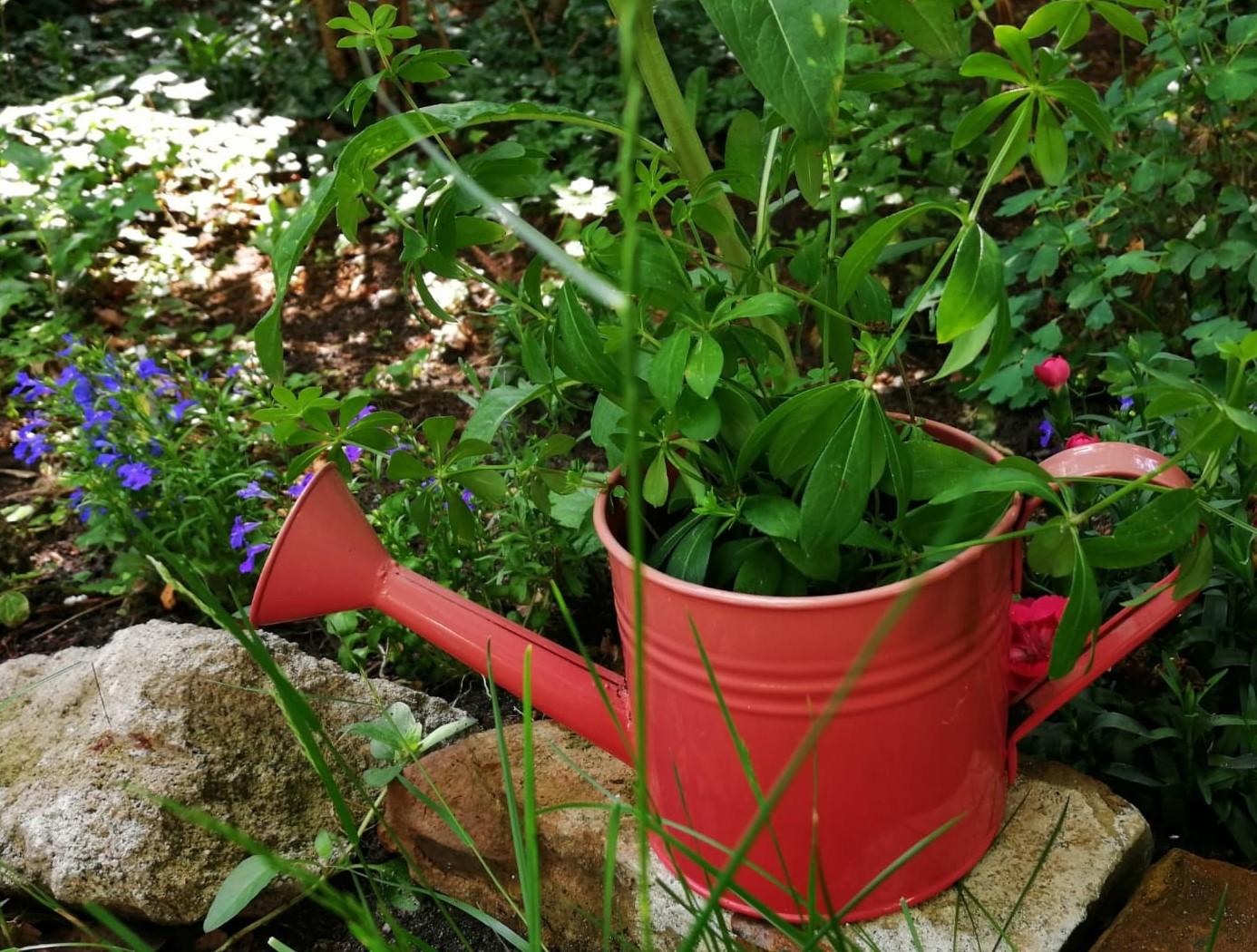 Alte, rote Gießkanne, als Blumentopf für eine grüne Pflanze in einem Beet
