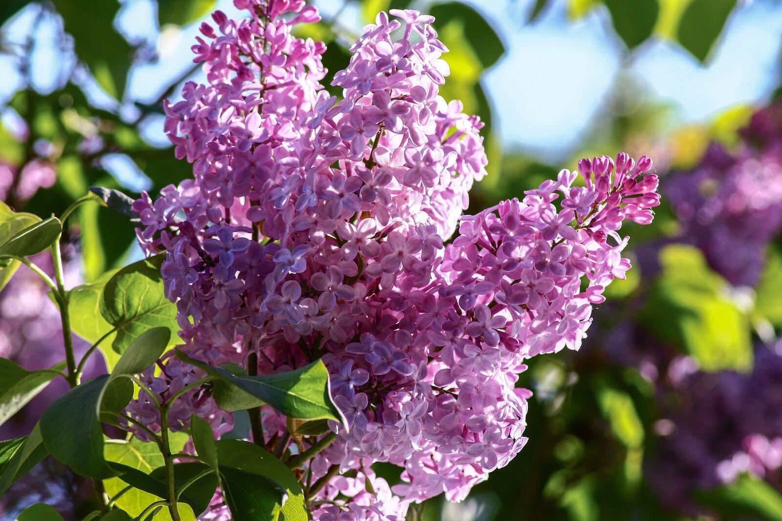 Lilane Blütenpracht des gewöhnlichen Flieders