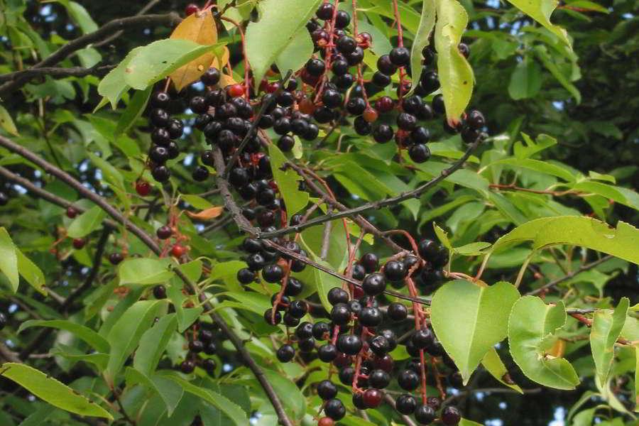 Spätblühende Traubenkirsche, schwarze, kleine Beeren und grüne Blätter