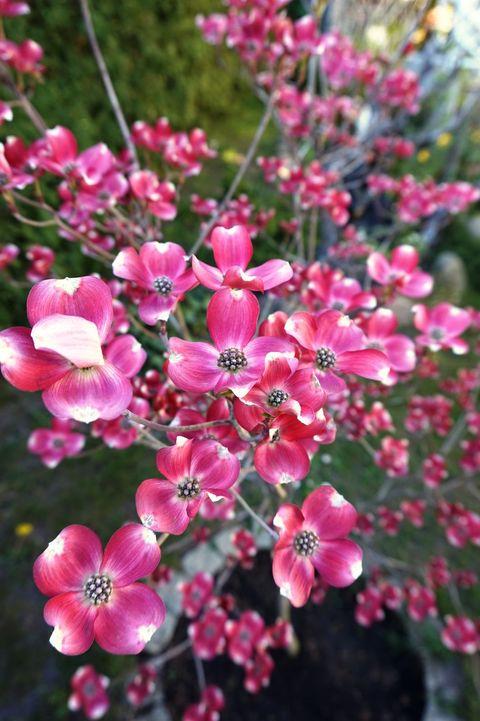 Amerikanischer Blumen- Hartriegel Cherokee Brave