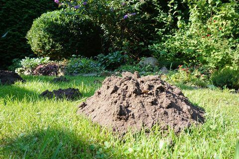 Der Maulwurf wird als störent oft empfunden, weil er mit Hügelbau verbunden!