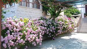 Das Gartenjahr und mehr- Hortensien (lat. Hydrangea) in Kroatien