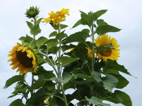 Sonnenblume quer