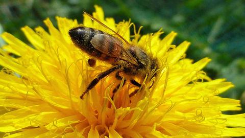Biene an Löwenzahn