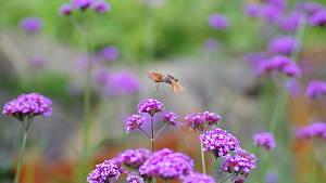 Eisenkraut mit Insekt