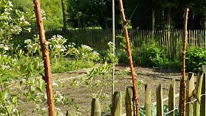 Brombeerstängel am Zaun