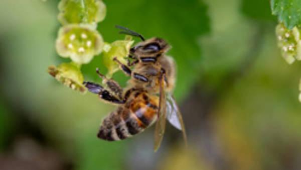 Themenbild: Biene