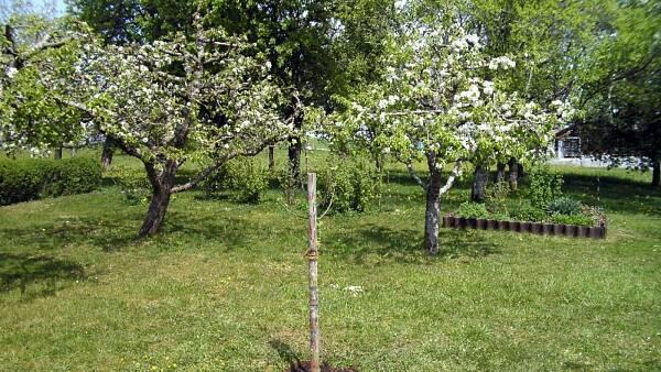 Themenbild: Ein frisch gepflanzter Baum im Garten.