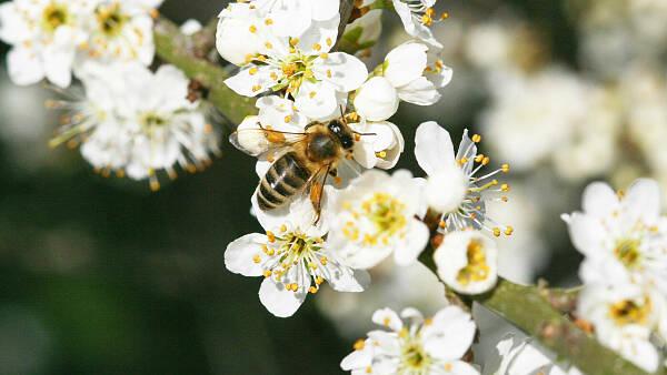 Themenbild: Biene an Schlehe