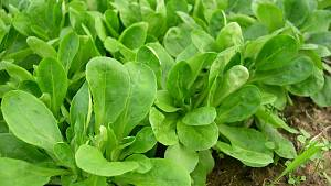Feldsalat im Beet.