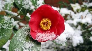 Kamelie (<em>Camellia japonica</em>)