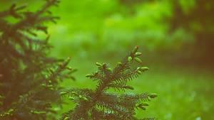Nadelbäume im Garten
