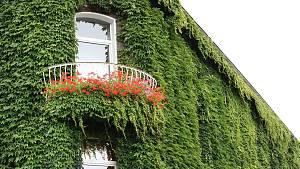 Efeu an der Fassade