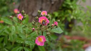 Ramblerrose mit Biene