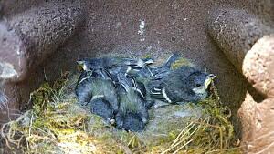 junge Meisen in ihrem Nest