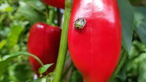 Grüne Reiswanze im Larvenstadium an einer Paprika