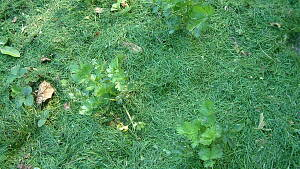 Mulchen mit Grasschnitt