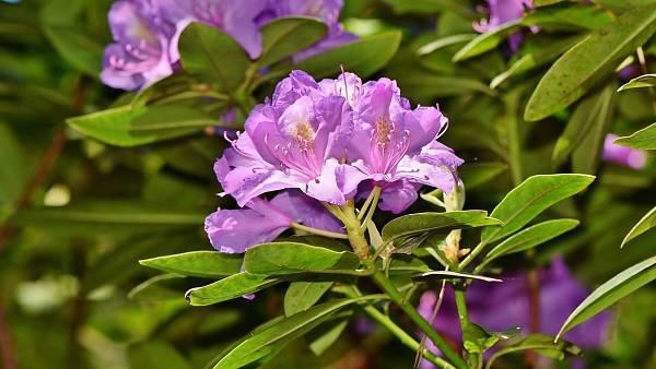 Themenbild: Rhododendronblüte