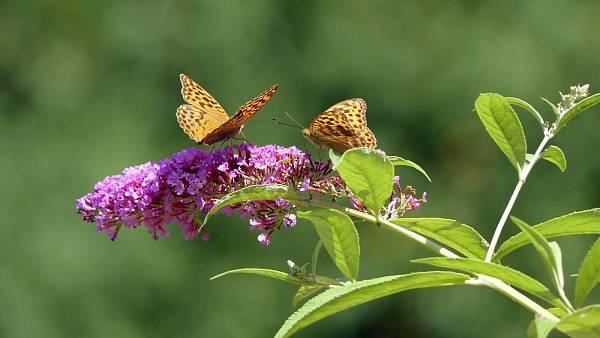 Themenbild: Sommerflieder mit Schmetterling.