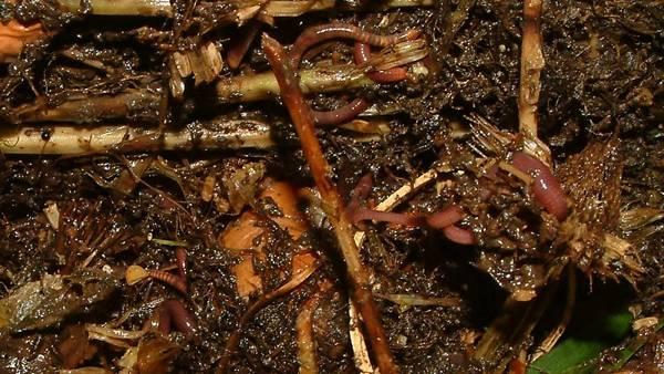 Themenbild: Kaltrotte im Kompost