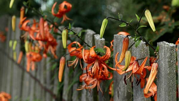 Themenbild: Blumen am Gartenzaun
