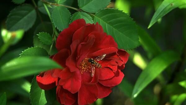 Themenbild: Rose