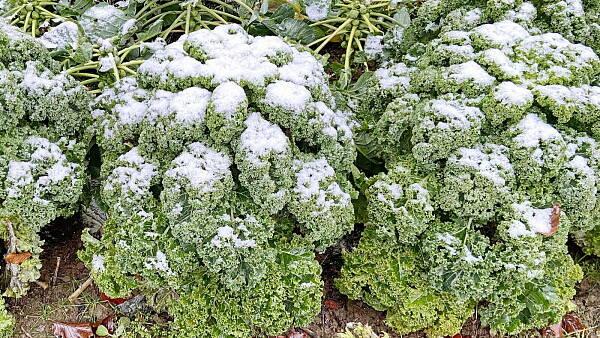 Themenbild: Grünkohl im Schnee