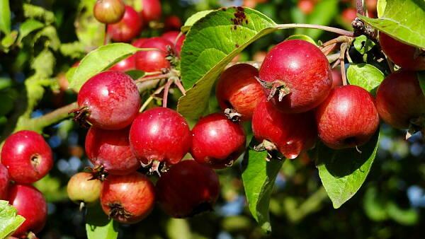 Themenbild: Äpfel am Baum