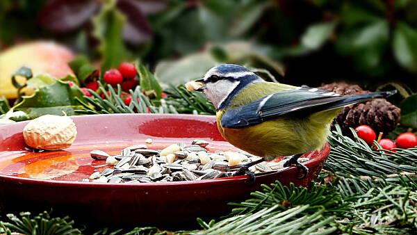 Themenbild: Meise auf einer Tonschale im winterlichen Garten