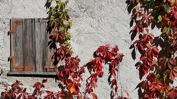 Themenbild: Wilder Wein an der Hauswand