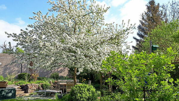 Themenbild: Zierapfel im Frühling