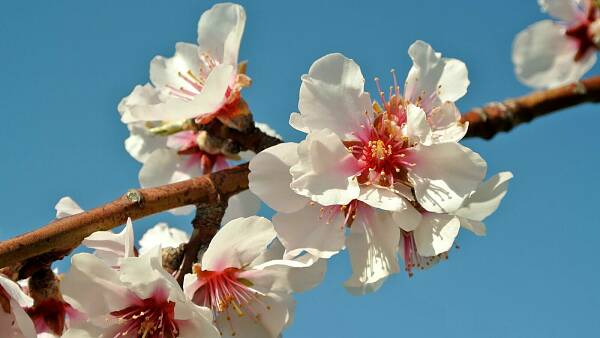 Themenbild: Mandelblüte