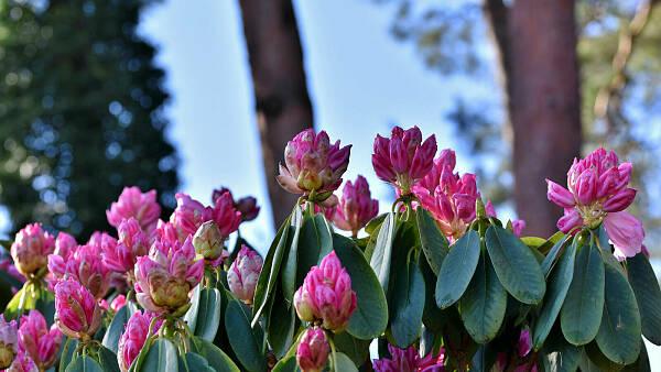 Themenbild: Rhododendron-Strauch