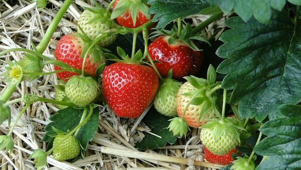 Themenbild: Erdbeeren