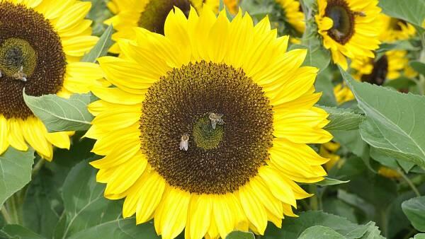 Themenbild: Sonnenblume