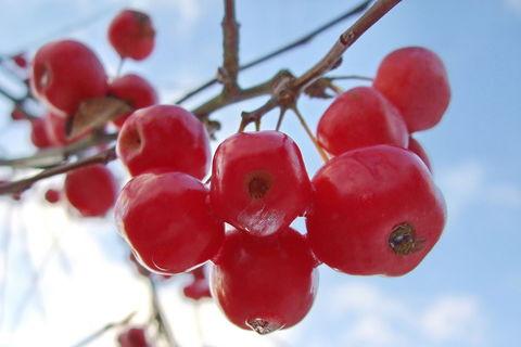 Zieräpfel mit Frostnase
