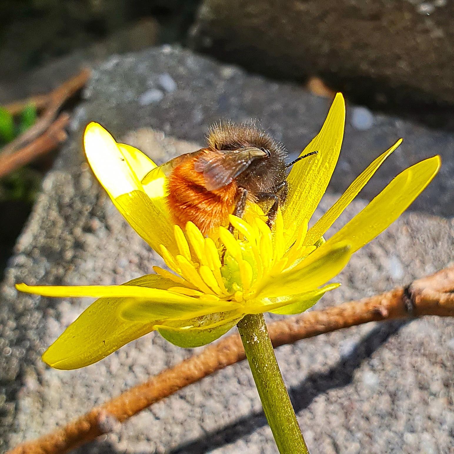 Gehörnte Mauerbiene am Scharbockskraut