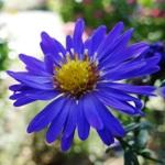 blaue Herbstaster