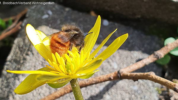 Themenbild: Mauerbiene