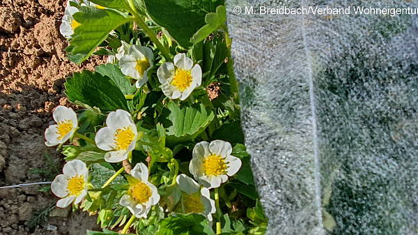 Themenbild: Erdbeerblüte