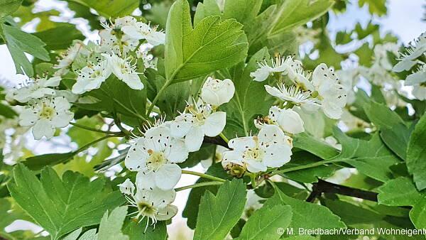 Themenbild: Weißdornblüte
