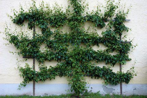 Wandspalier an Gebäuden
