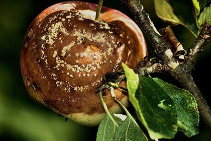 Oft bilden Apfelwickler Fäulnis aus.