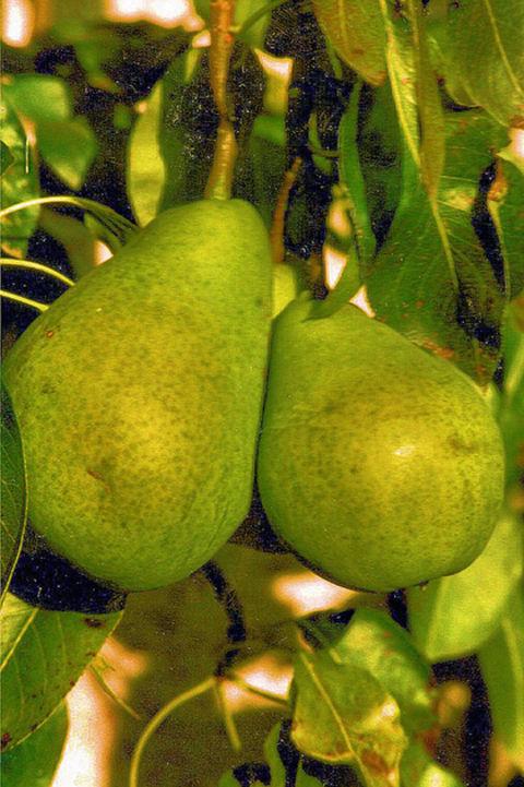 Birnensorte ´Alexander Lucas´