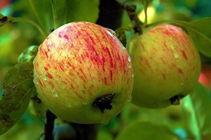 Apfelsorte ´Pilot´