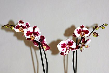 Phalaenopsis-Hybriden