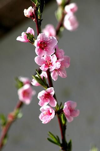 Kräuselkrankheit des Pfirsichs