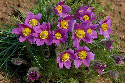 Kuhschelle (Anemone pulsatilla)